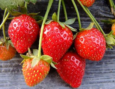 丰香草莓采摘