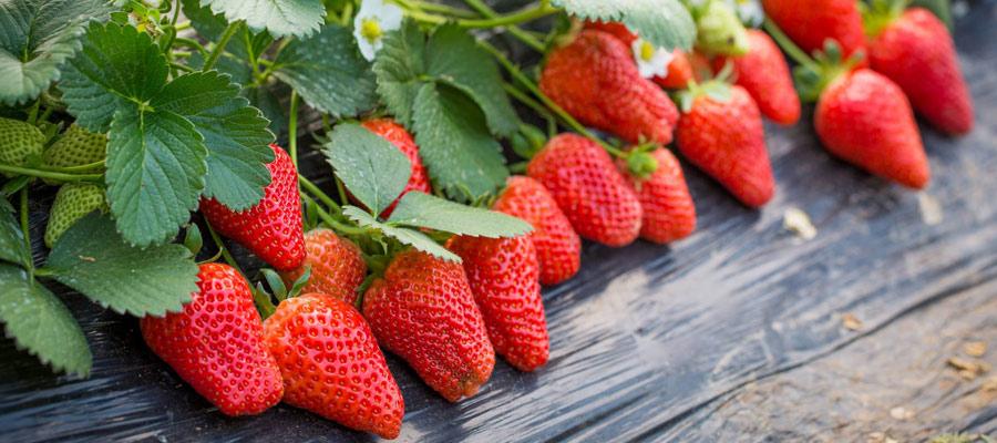 重庆江北樱桃草莓采摘基地