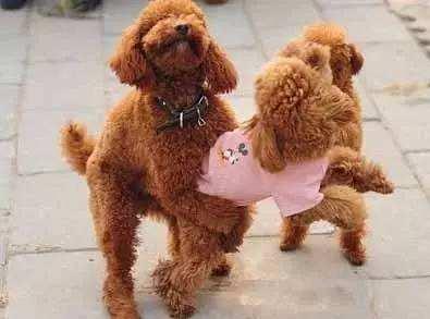 狗狗交配的时候不可以随意打断!