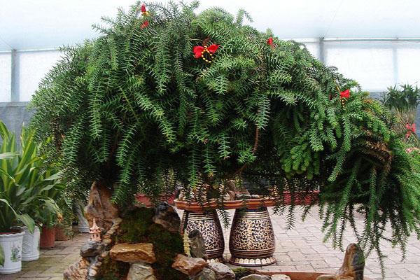 植物租赁介绍夏威夷椰子的养殖方式和注意事项