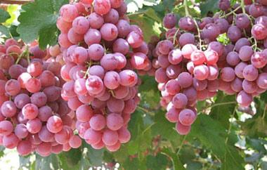 红提葡萄采摘