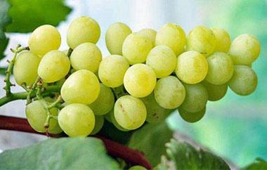黄蜜葡萄采摘