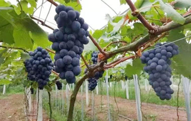 葡萄采摘园的管理是重要的