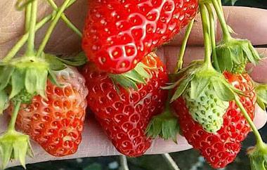 草莓种植的常见方法介绍