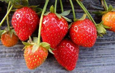 草莓采摘园告诉你草莓喷施赤霉素的好处
