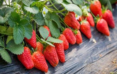 进入采果期草莓应留意合理追肥