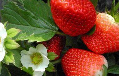 太空2008草莓采摘