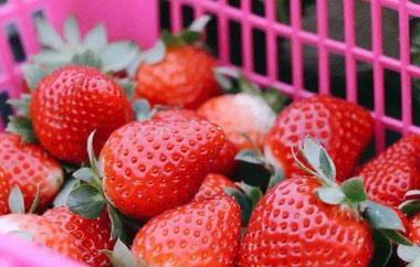 草莓采摘前需要准备什么