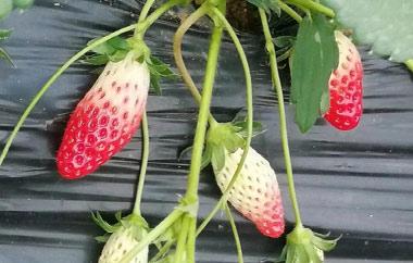 香蕉草莓采摘