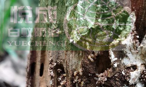 园林灭白蚁
