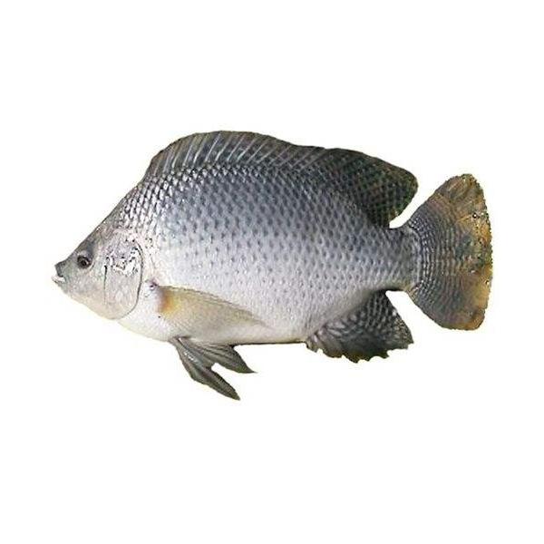罗非鱼鱼苗