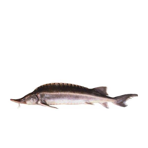 中华鲟鱼鱼苗