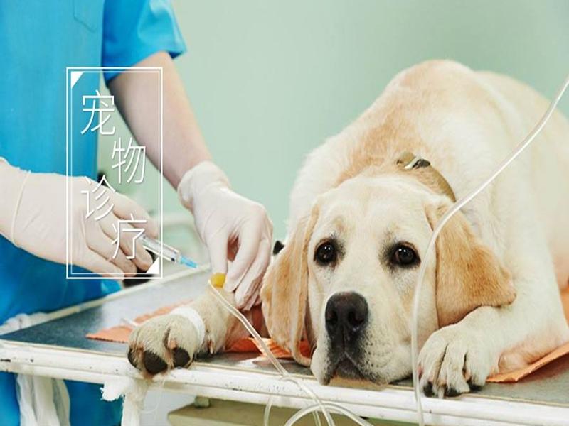 宠物犬发情期间,出现的主要异常表现