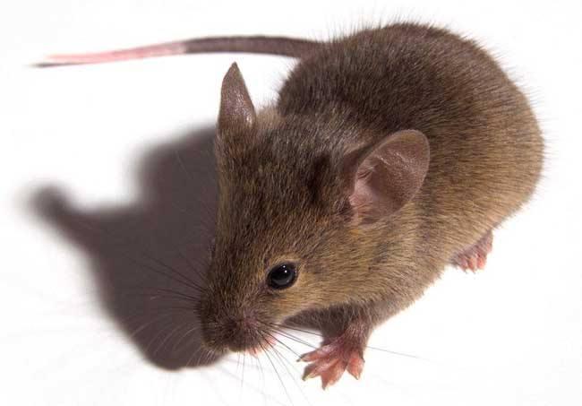 长沙老鼠防治