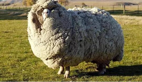 """""""羊绒""""与""""羊毛""""有何区别?"""