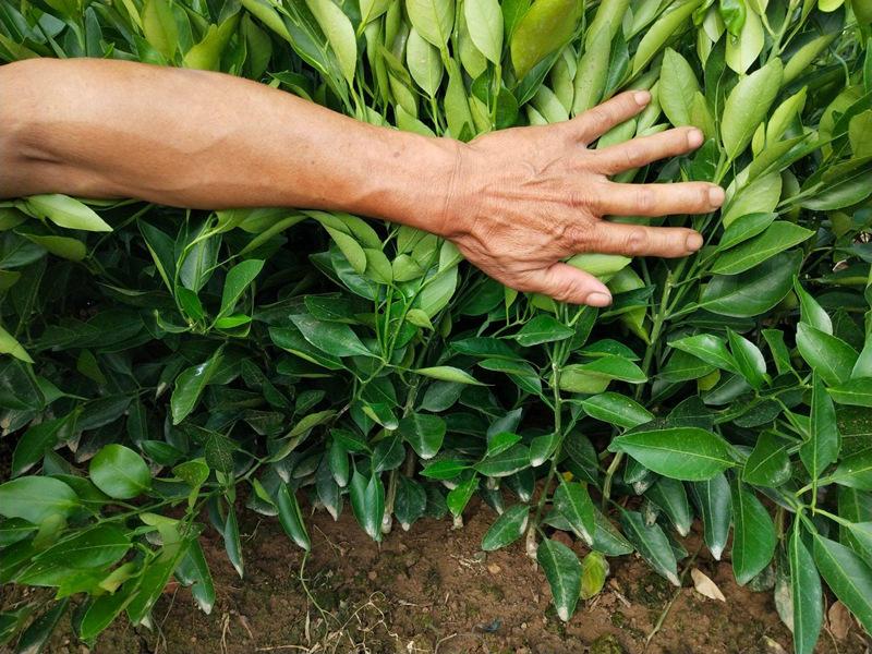 四川爱莎苗的种植经济效益好,冬季果实落果少,上市价格好