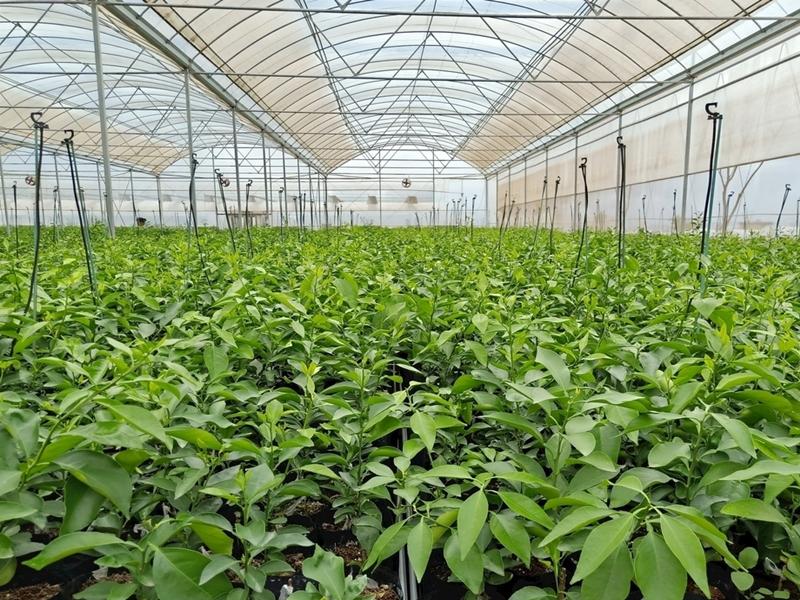 黄美人柑橘苗基地种植