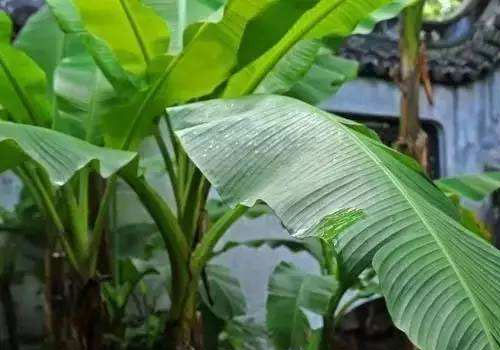 仿真芭蕉树盆景