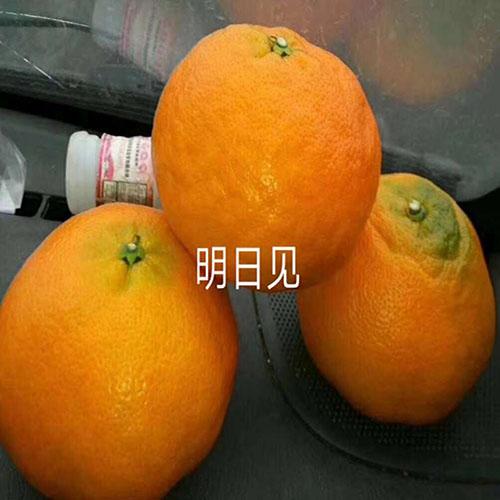 明日见柑橘多少钱一斤