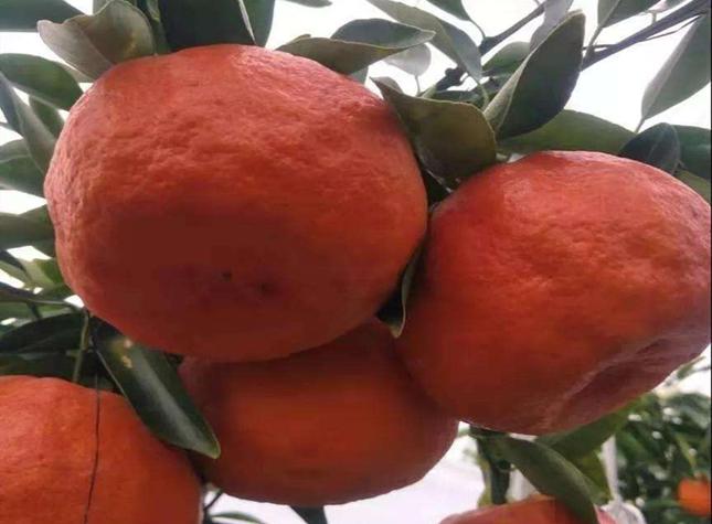 云南媛红椪柑苗
