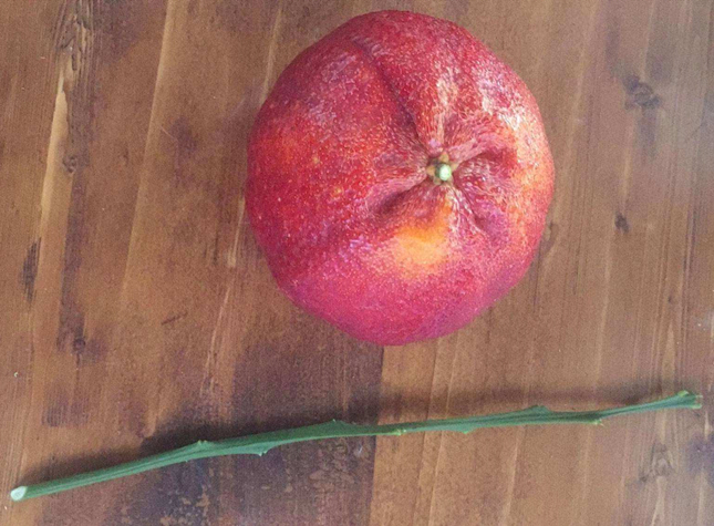 四川媛红椪柑苗
