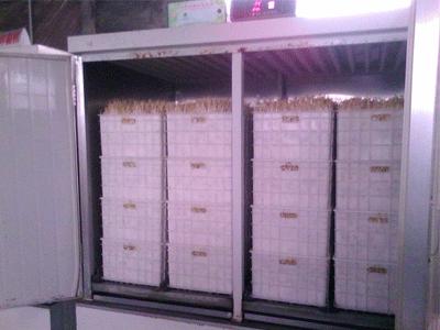 绿豆芽苗机