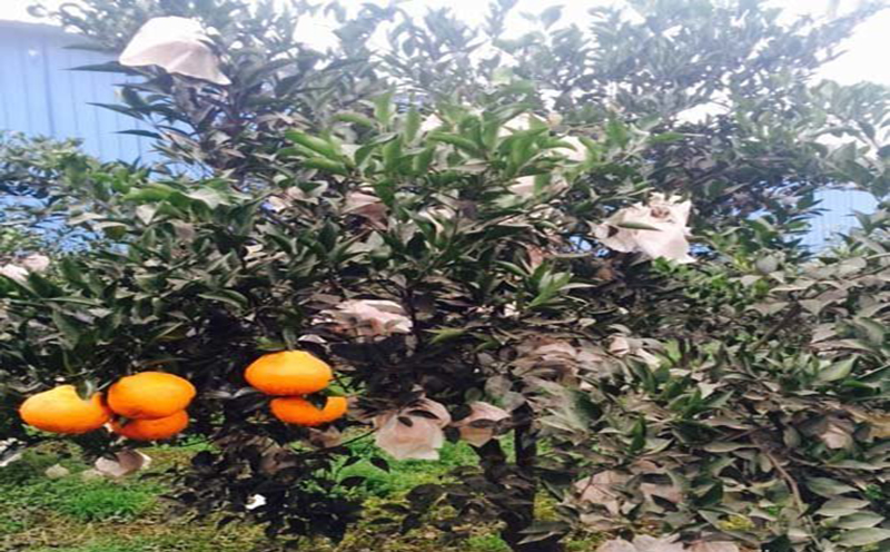 贵州明日见橘苗