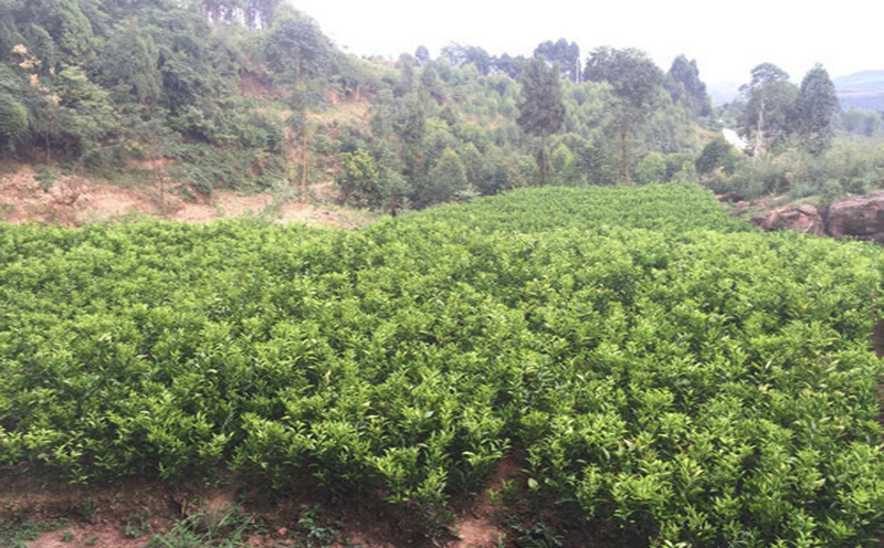 贵州明日见柑橘苗