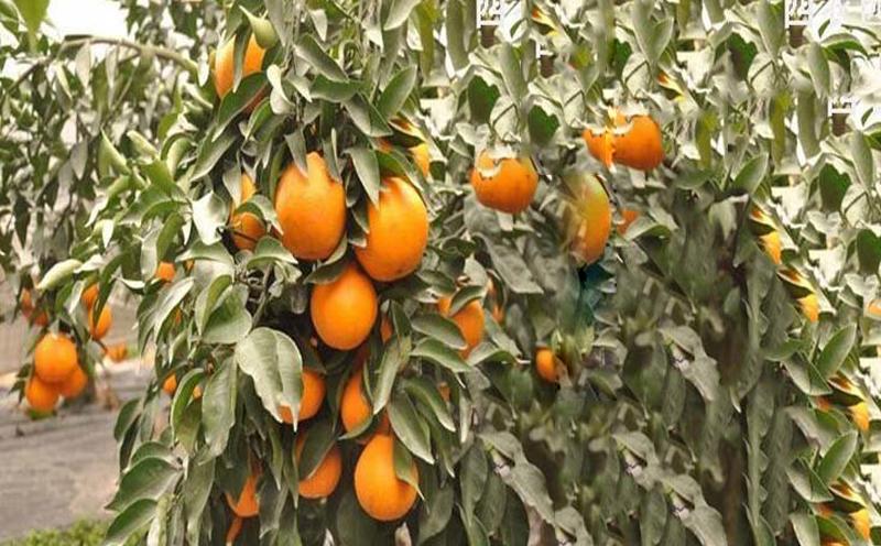 泸州大雅柑一号柑橘苗