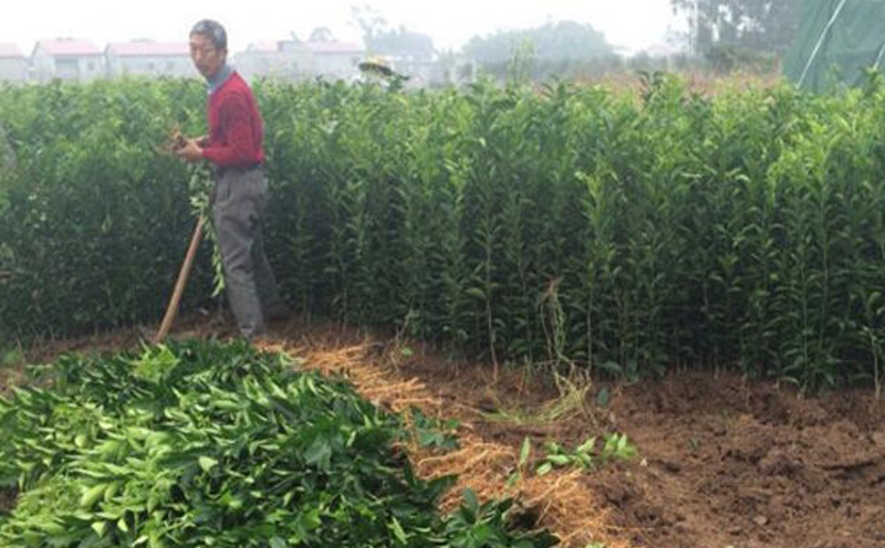 大雅农夫七月进行明日见柑橘苗栽培技术专讲
