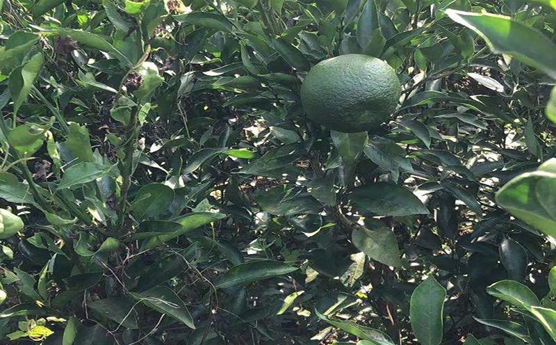 大雅柑苗木