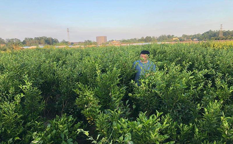 在大雅农夫种植基地进行大雅柑苗装车发往昆明