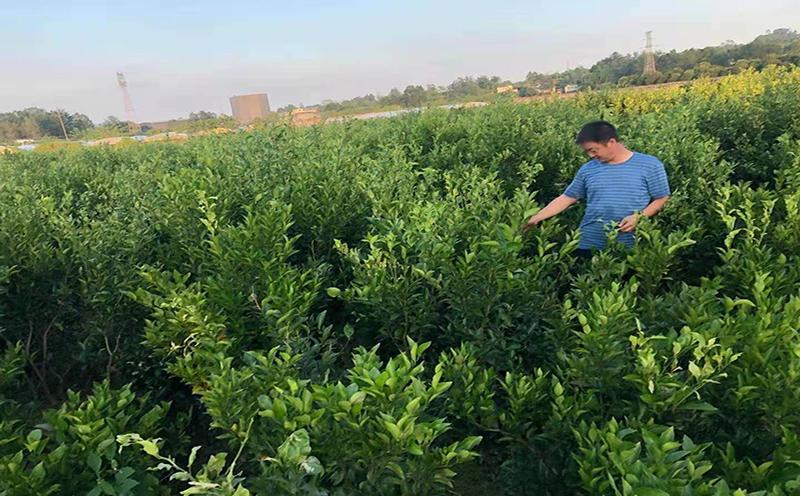 7月份大雅农夫种植基地工作人员把大雅柑苗发往重庆地区