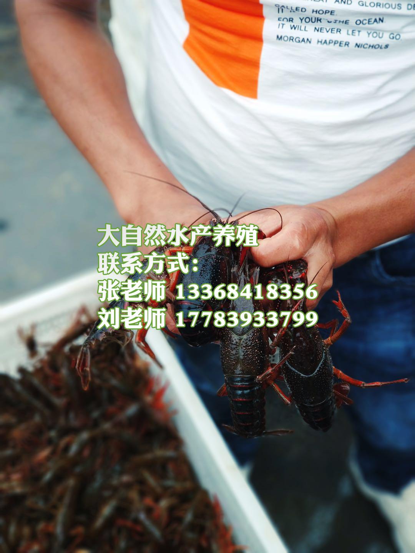 水产养殖小龙虾