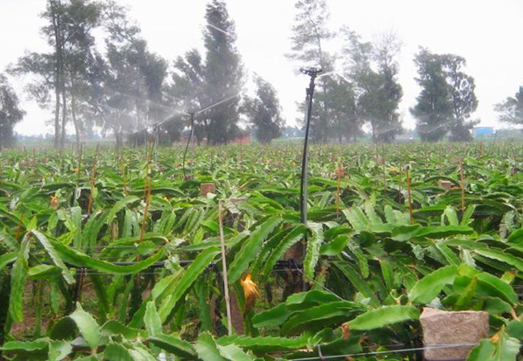 火龍果灌溉工程