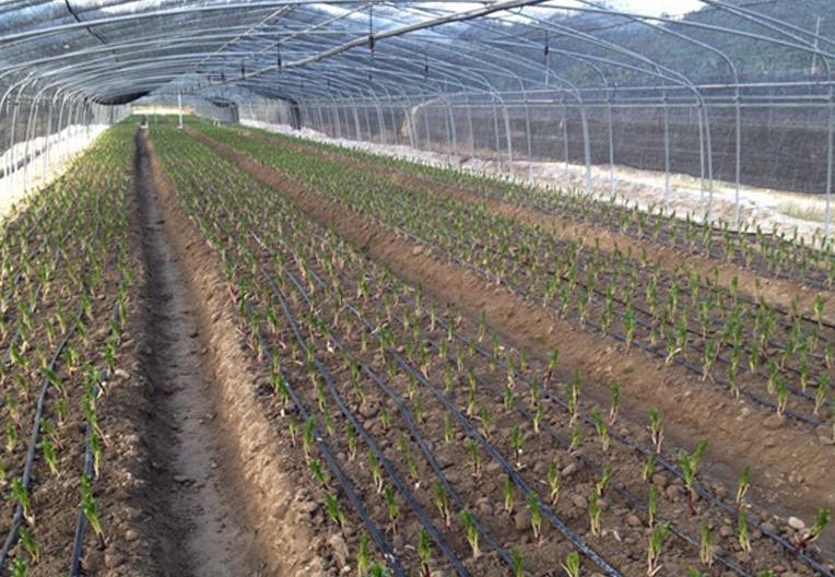 百合花灌溉工程