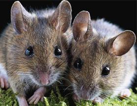 老鼠的危害是我们不能忽视的
