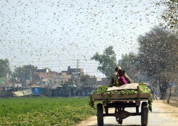 兰州画册设计制作公司分享联合国发蝗灾警告,浙江10万鸭子将出征巴基斯坦灭蝗!