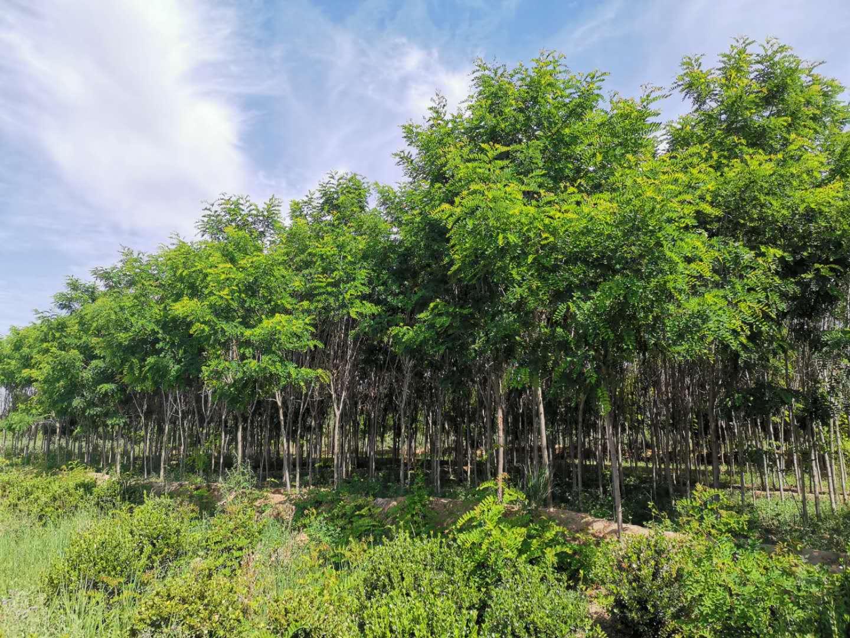幾種常見的速生樹種