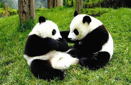 蘭州蘭創太陽能路燈廠家帶您看重慶動物園同日喜添兩對大熊貓雙胞胎