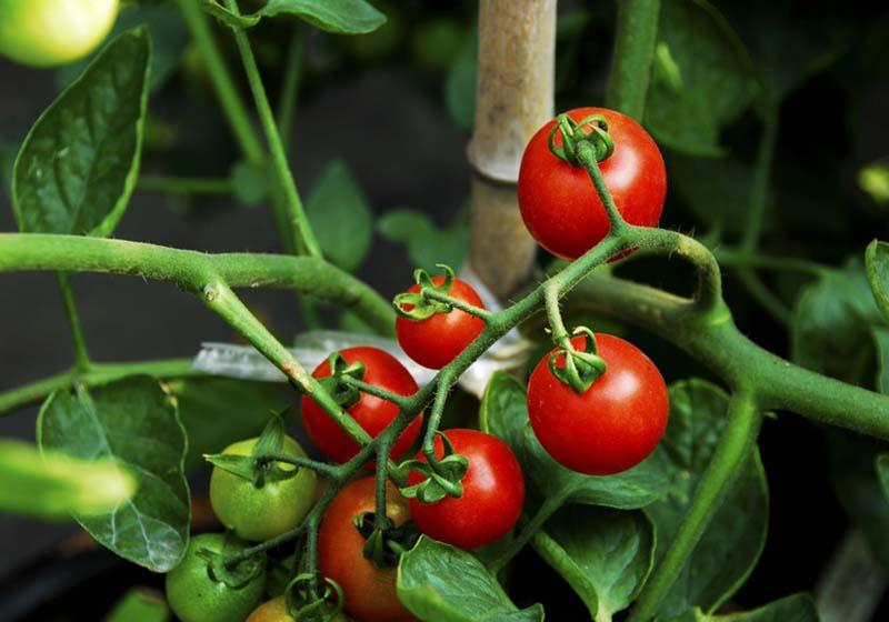 屋頂菜園比較受歡迎十大果蔬