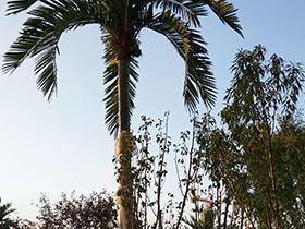 贵阳仿真棕榈树
