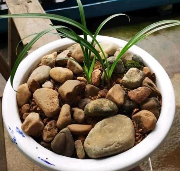 天然鹅卵石做花盆可以增加美感同时达到防尘效果