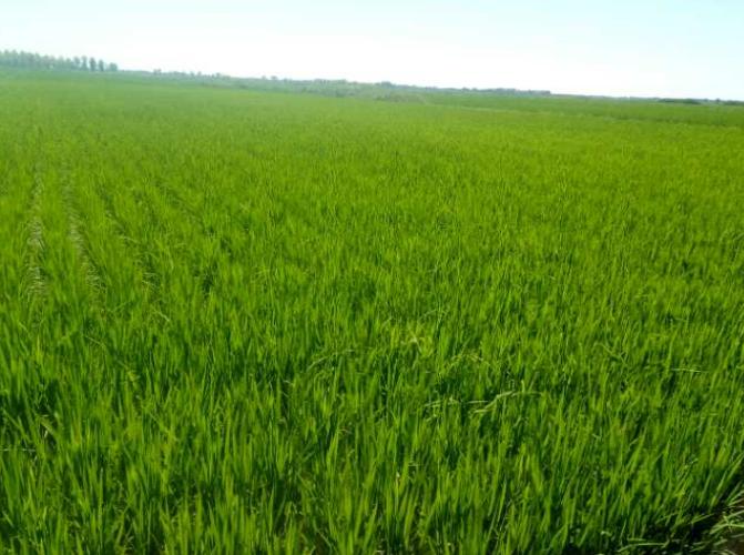 2018年7月酵素水稻长势喜人