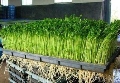 绿庄苑你问我答:豆芽畸形与异味是什么原因?