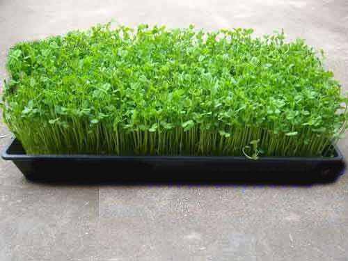 使用豆芽机生产黄豆芽的技术操作基本程序