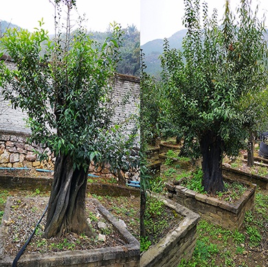 贵州苗木销售