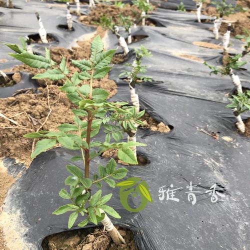四川無刺花椒苗供應