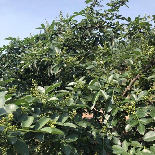 红花椒苗基地-