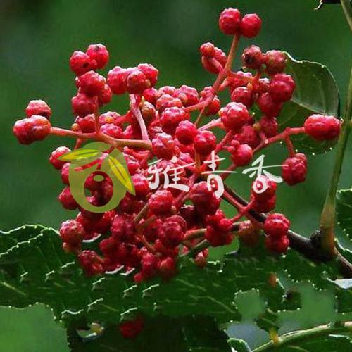 貢椒苗品種3